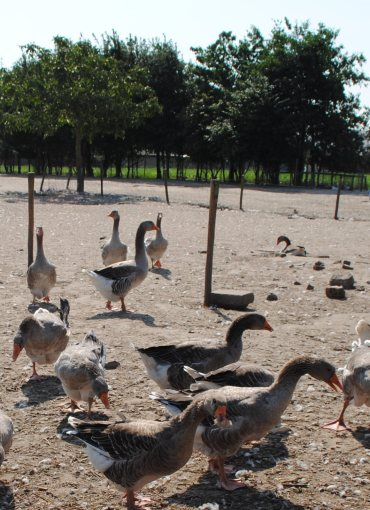 """Ganzenboerderij """"Handsaeme Foie Gras"""""""